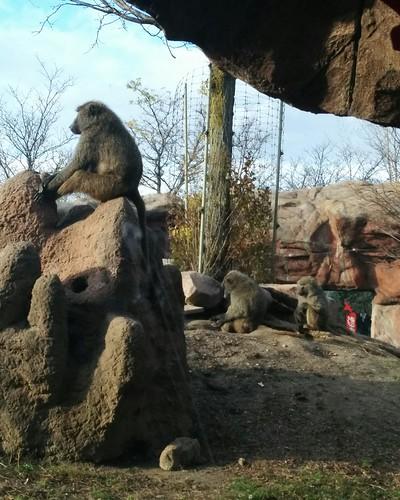 Olive baboon (2) #toronto #torontozoo #baboon #olivebaboon #mammal #primate #latergram