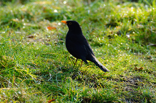 Male blackbird hunting in wet grass