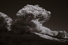 Mount Burdell in Infrared, Feb 2018