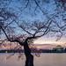 Sunrise at The Cherry Blossom Festival in Washington, D.C.