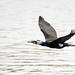 Cormorán grande (Phalacrocorax carbo) / Great Cormorant