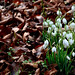 Snowdrops among Leaves