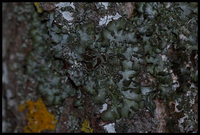 Parmelia acetabulum 40122748081_ae9ff9512c_z