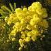 Small photo of Acacia dealbata