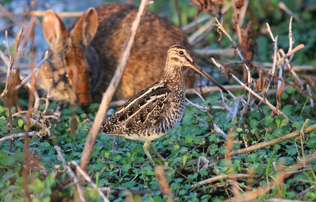 WILSON'S SNIPE with Bunny, Canon EOS REBEL T6I, Sigma 150-600mm f/5-6.3 DG OS HSM | C