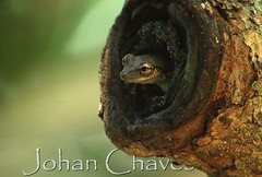 Olive tree frog