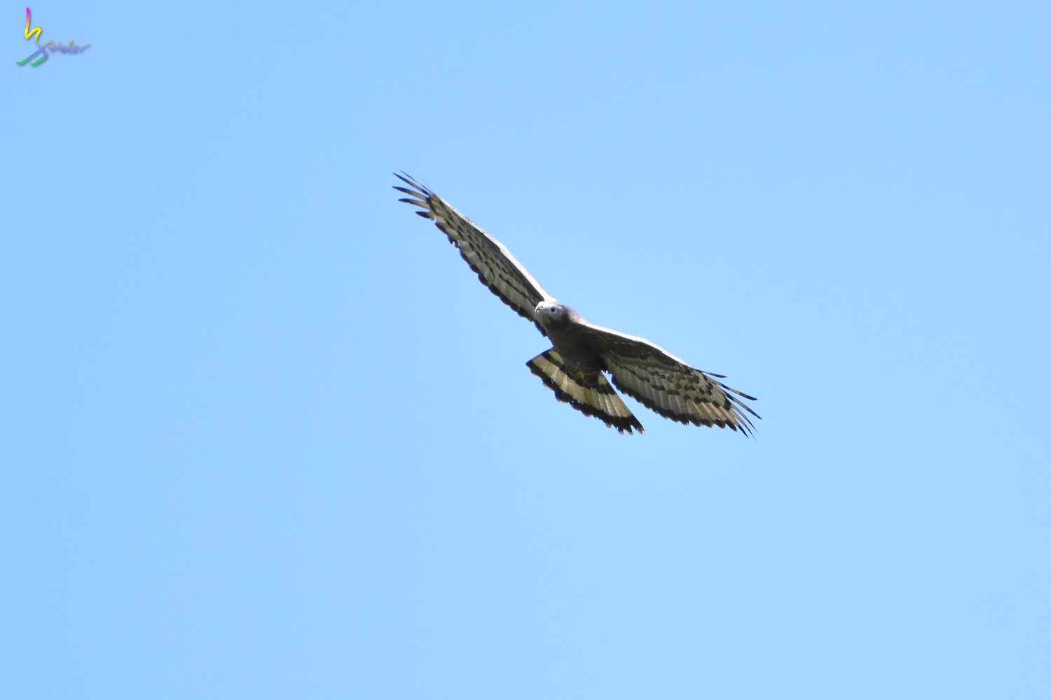 Honey_Buzzard_6003