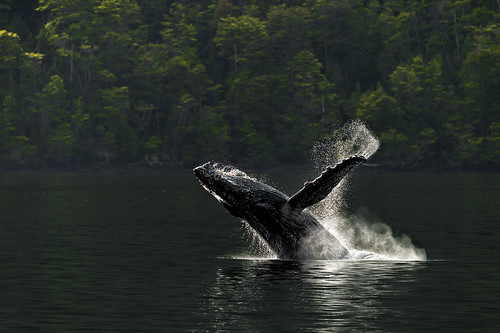 Yubarta - Humpback whale - Megaptera novaeangliae. Paso Shag