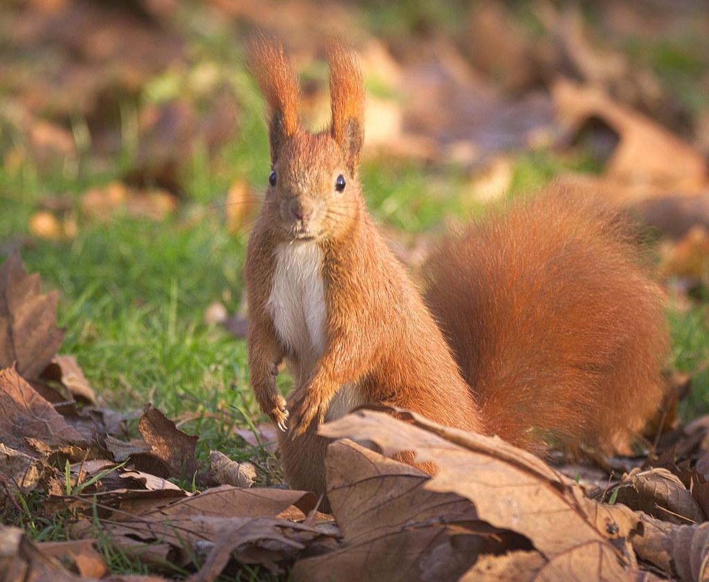 Red Squirrel Explored  Red Squirrel Sciurus Vulgaris -3932