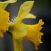 daffodils, snow
