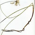 Eriophorum tenellum