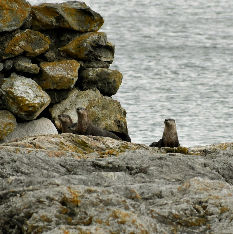 River Otters - Victoria, BC