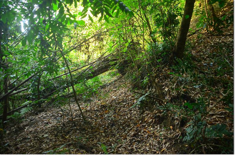 芒果坑山低鞍大倒木