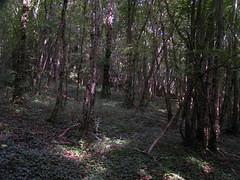 20070903 13073 0710 Jakobus Wald Efeu Licht Schatten