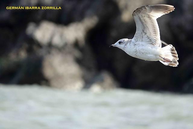 Ejemplar de primer invierno a mediados de invierno. Autor: Germán Ibarra Zorrila.