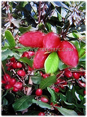 Free-fruiting tree of Synsepalum dulcificum (Miracle Fruit, Miracle Berry, Miraculous Berry, Flavour/Sweet Berry, 10 Feb 2018