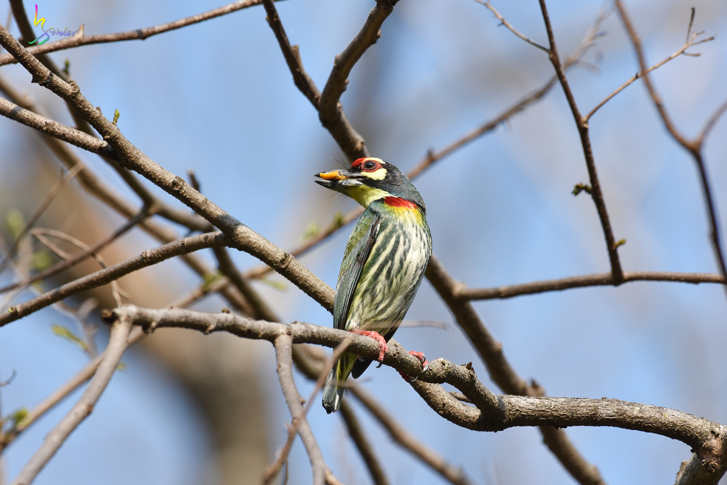 Coppersmith_Barbet_5352