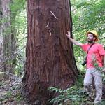 Sequoia sempervirens trunk