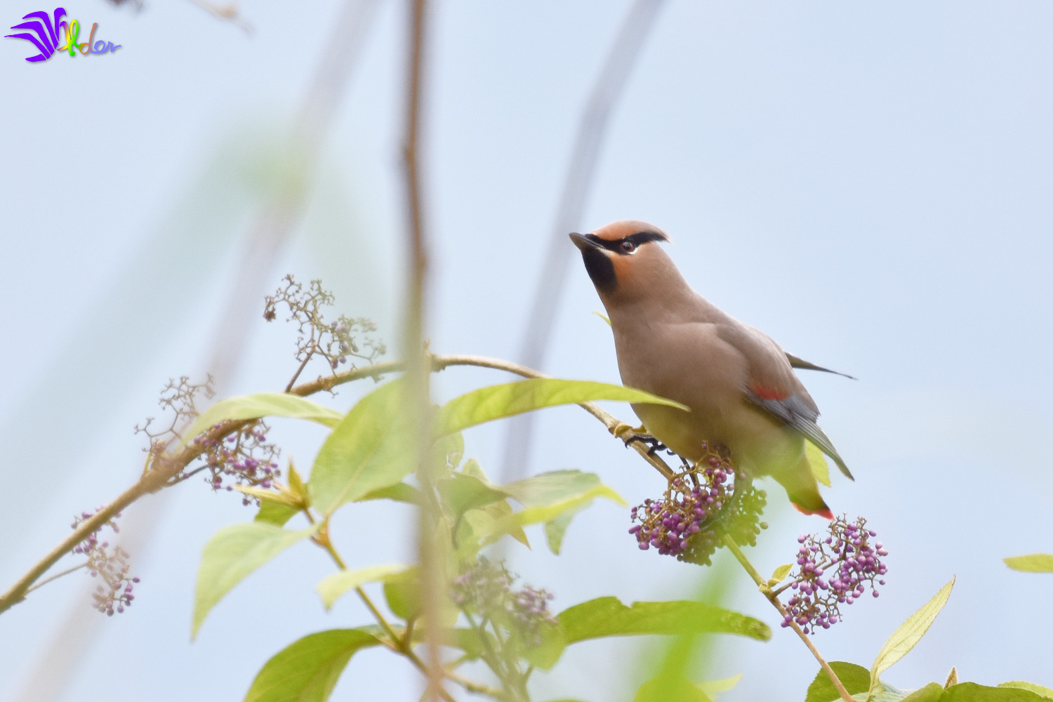 Japanese_Waxwing_5581