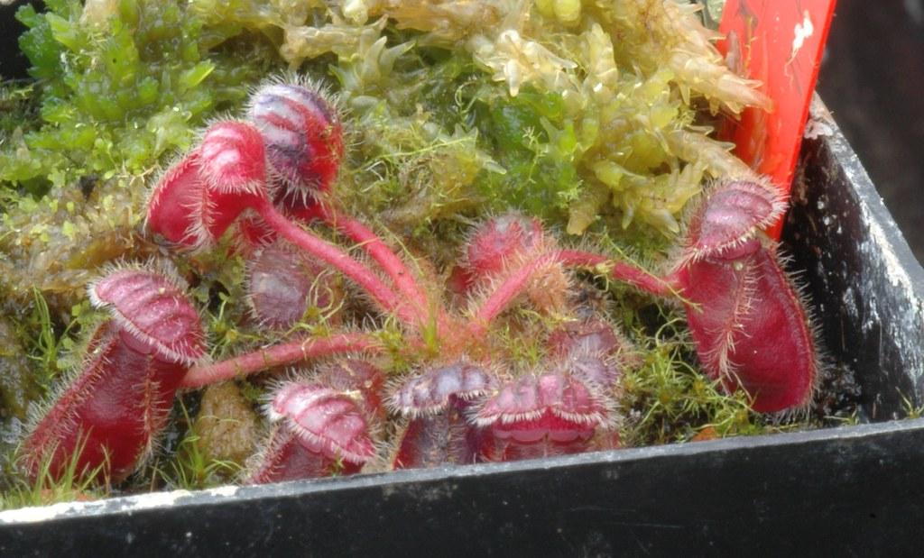 Cephalouts follicularis