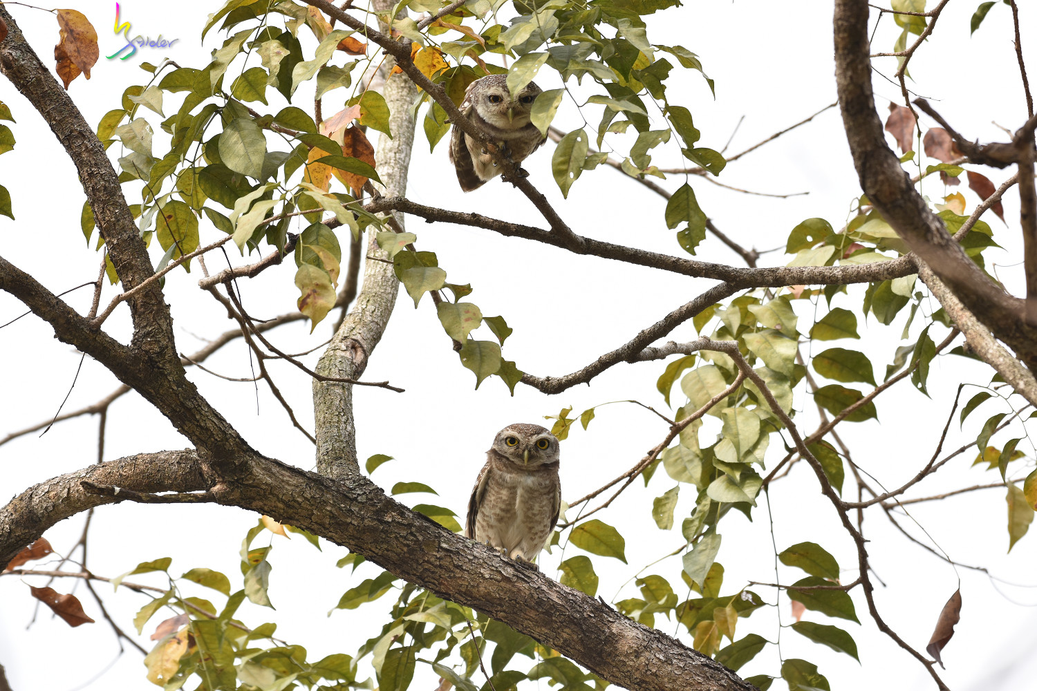 Spotted_Owlet_2491