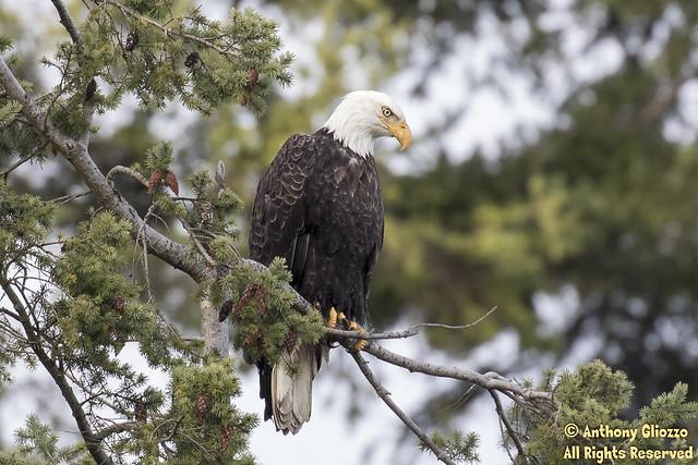 Bald Eagle (adult) (4959)