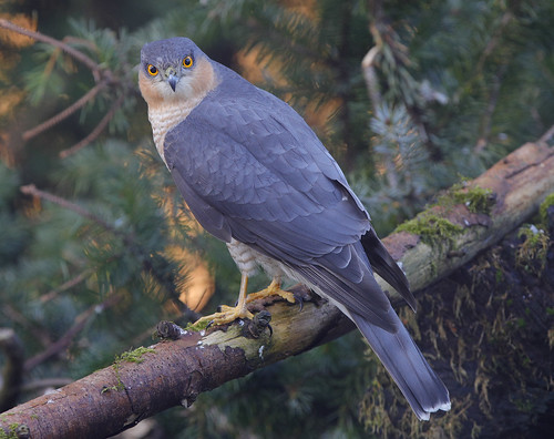 SPARROWHAWK ....Male....Powys....More detail on large.