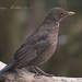 Young Female Blackbird