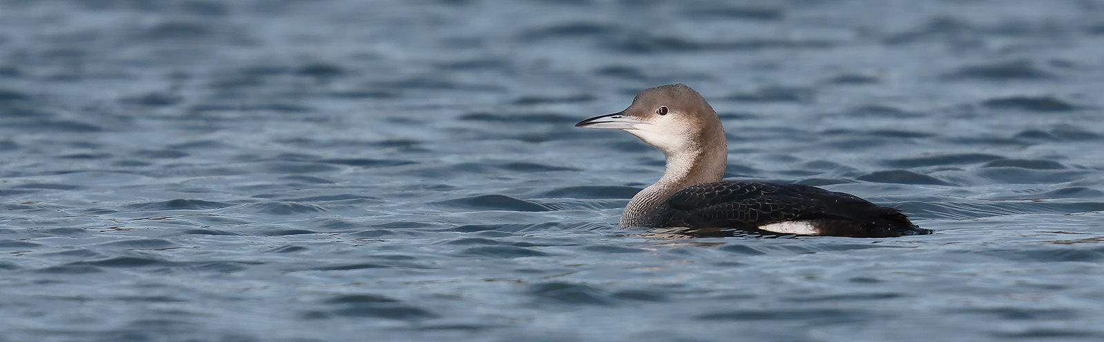 Black-throated Diver [juvenile]