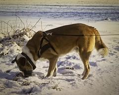 20180225-155417 - Hund sucht im Schnee