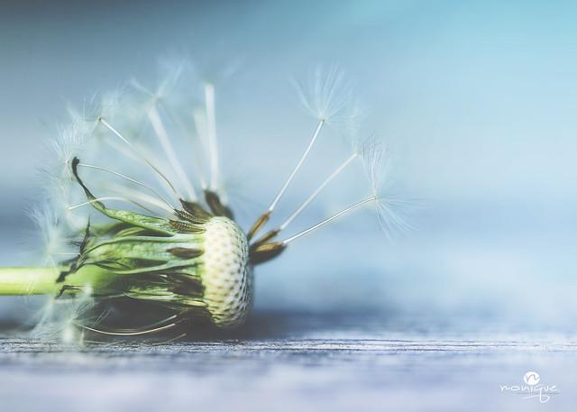 history of a dandelion - part 4