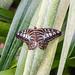 Clipper Butterfly RHS Wisley 08 February 2018 (32)