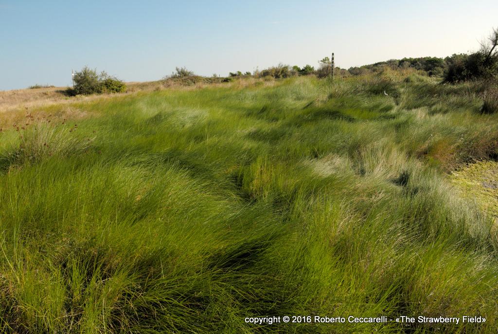 Erba sulla duna costiera