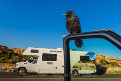 Common Raven Begging on Vehicle Door in Canyonlands National Park