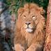 Löwen der Wilhelma by to.wi