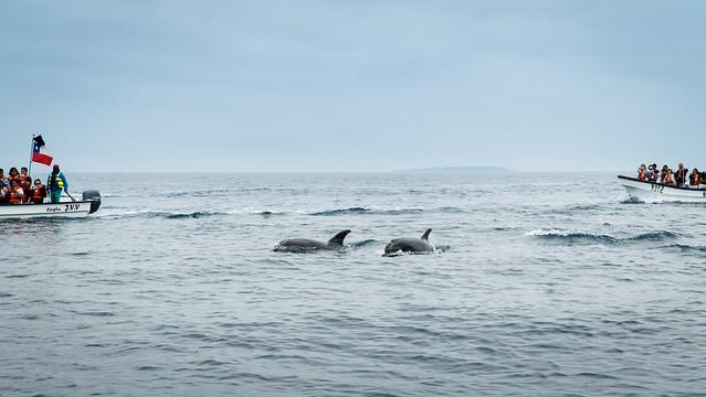 Delfine vor der Isla Damas