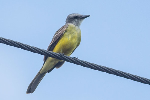 Tropical Kingbird - 90%