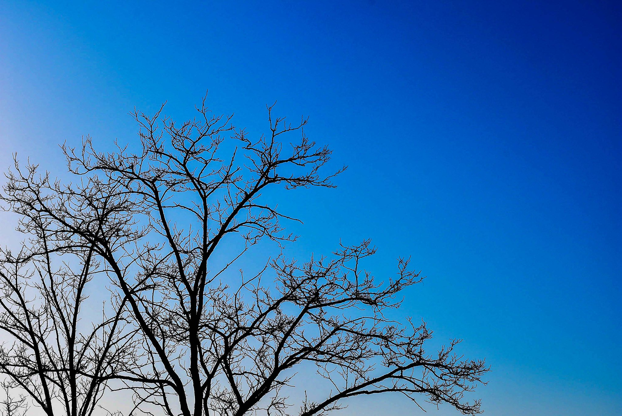 wident tree