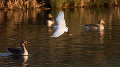 HolderLittle egret amongst the geese