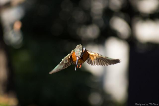 20180125-kingfisher-DSC_5461