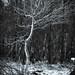 Dancing young birch-tree