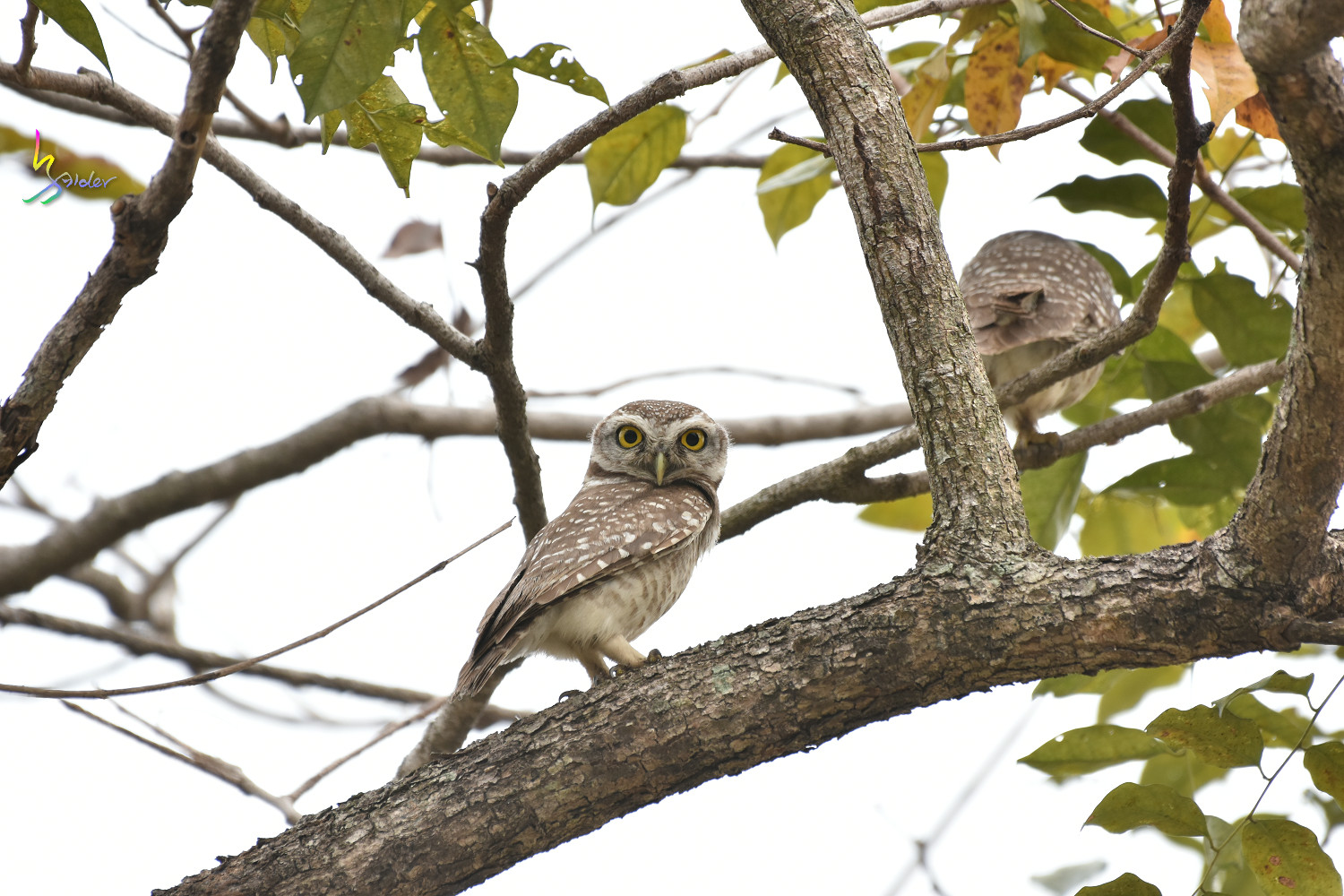 Spotted_Owlet_2547