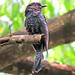 Square-tailed Drongo-Cuckoo-juvenile
