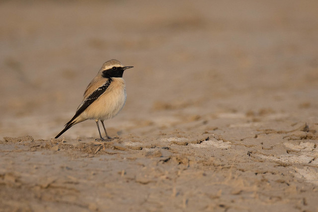 Desert Wheatear | Oenanthe deserti, Canon EOS 5D MARK IV, Canon EF 800mm f/5.6L IS