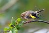 European Goldfinch, St Bees, Cumbria, England