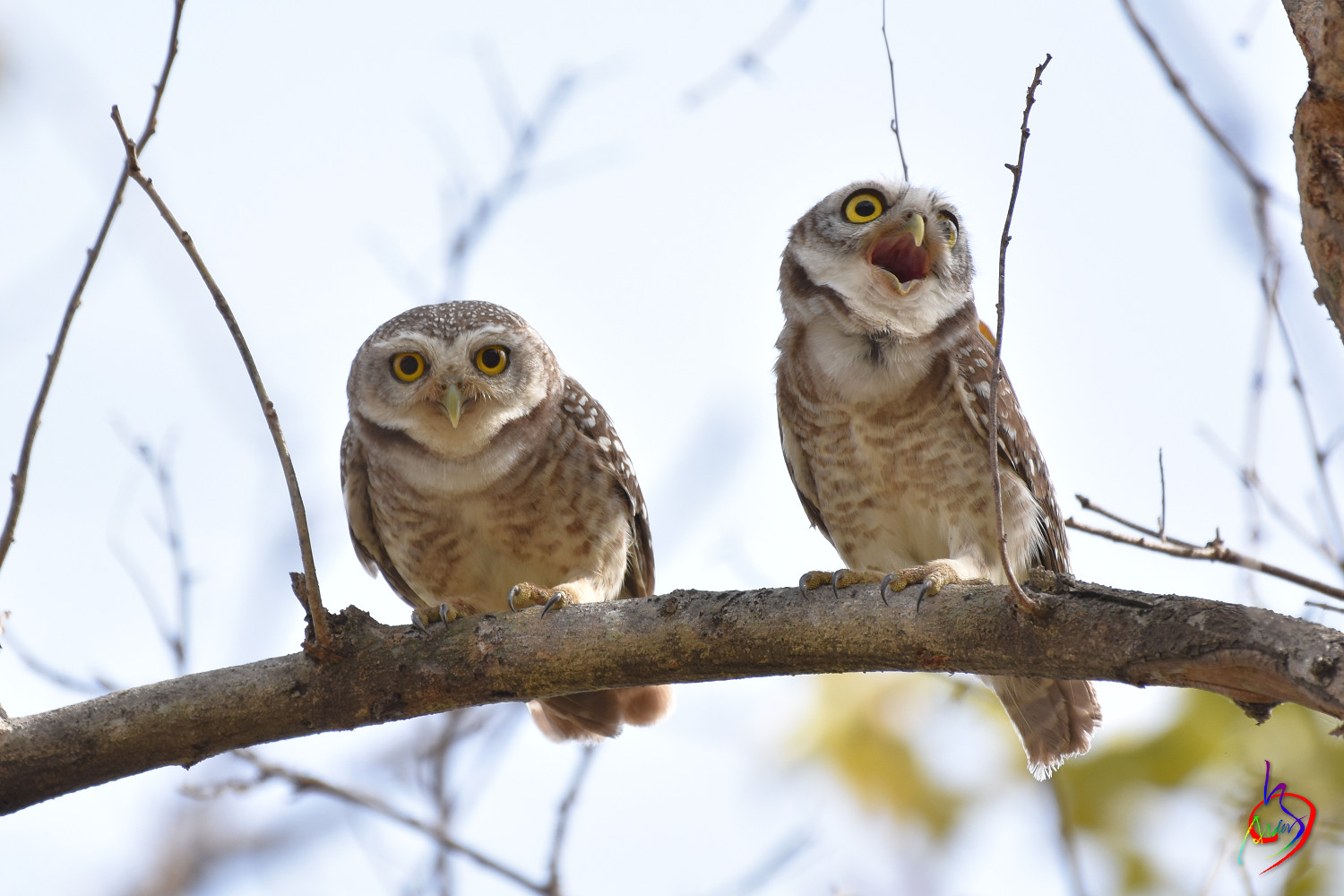 Spotted_Owlet_3458