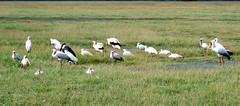 Yellow-billed & Marabou Storks