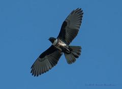 Black Baza Blue Sky