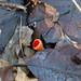 Signs of spring: scarlet elf cup fungus, Newbridge