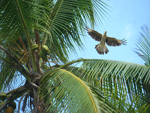 Hawk in flight, Corcovado National Park. Photographer Ted Nelson